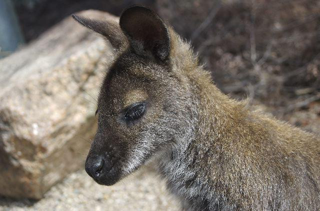 cute wallaby