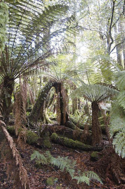 native tasmanian rainforest