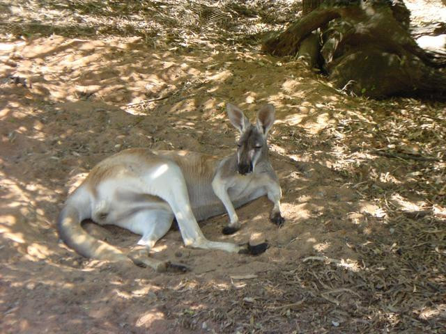 Here's another lazy kangaroo