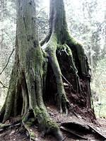 Amazing tree that grew up over...