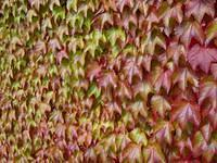 Vineyard leaves