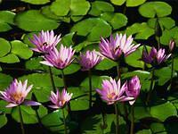 scenery - water lilies