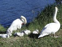 Swans and baby swans