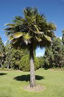 Dwarf fan palm