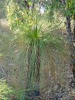 Grass Tree in Kings Park. They grow about 1.5 cm per year, making  this one about 75 years old. Aboriginal people had many uses