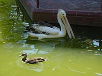 Pelican and duck