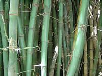 Look at this bamboo, I wish mine could grow this big... err I'm not so sure it might cause a problem in my living room :)