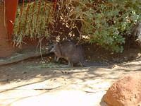 and here's a wallaby. I like them better than kangaroos, they are so cute and peaceful.