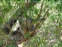 First koala I met
