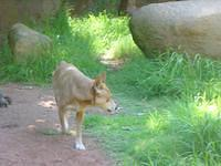 a Dingo! I had the chance to see some in the outback too, but I have the courage to get close to them (: