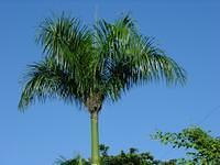 A royal palm tree when we were going north. You can reconize them with the peak on the top.
