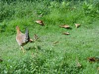hens were walking freely in the island with their chicks.