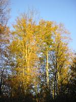 Golden tree in Leudelange.